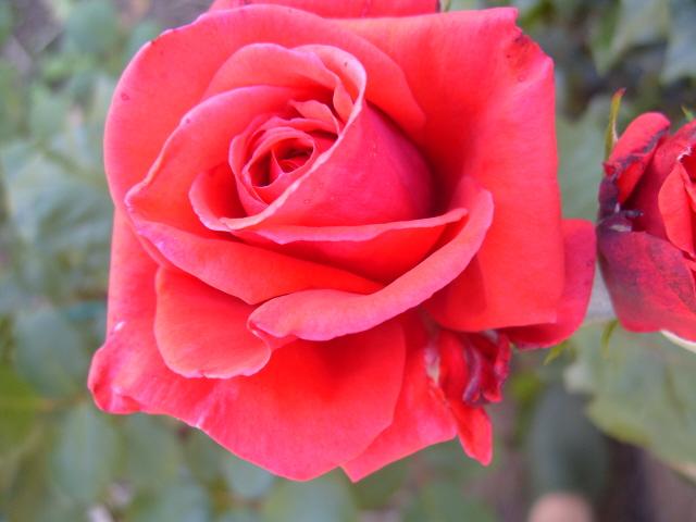 Petit album de roses - Page 2 S1050762