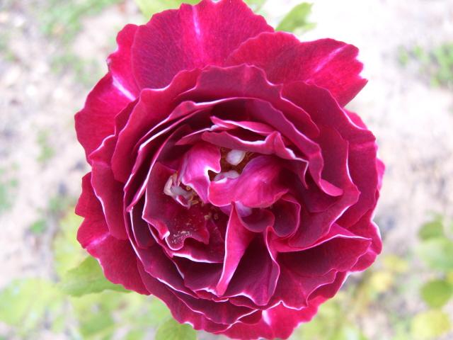 Petit album de roses - Page 2 S1050763