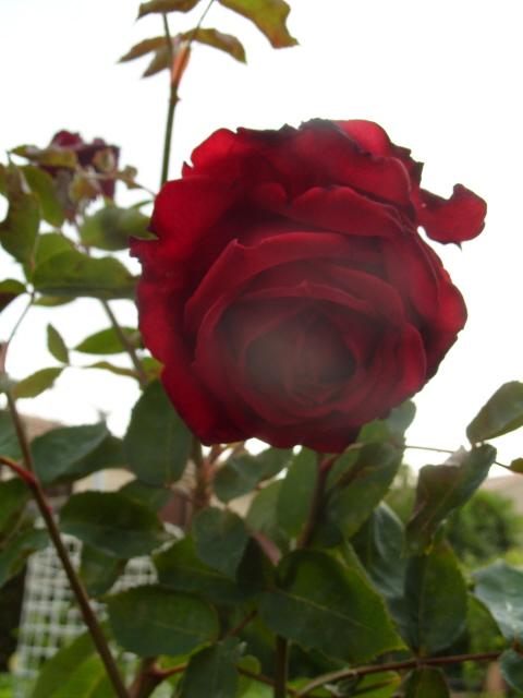 Petit album de roses - Page 2 S1050767