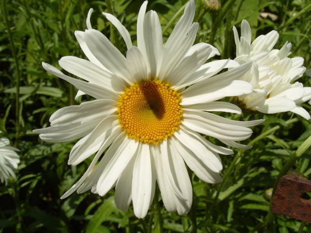 Leucanthemum vulgare 'Reine de Mai' - Marguerite S1050819