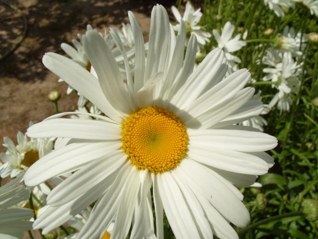 Leucanthemum vulgare 'Reine de Mai' - Marguerite S1050820