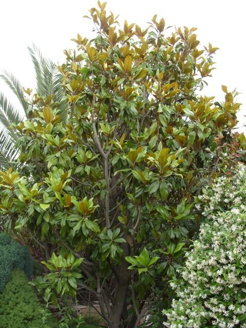 magnolia S1050862