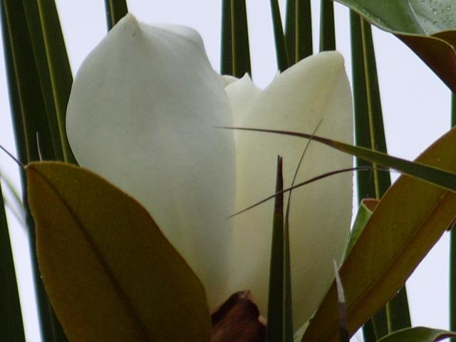 magnolia S1050864