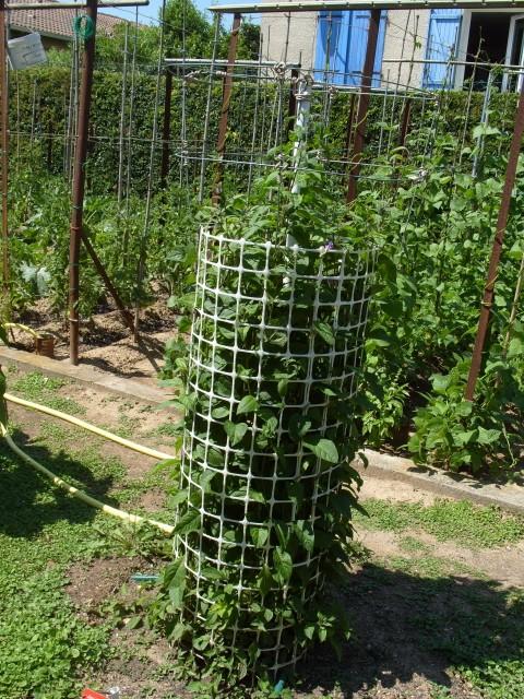 Solanum bleu S1050868