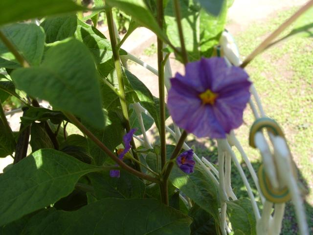 Solanum bleu S1050869