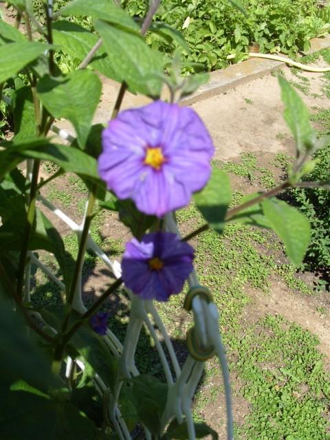 Solanum bleu S1050870