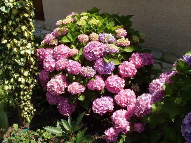Hortensia des jardins S1050874
