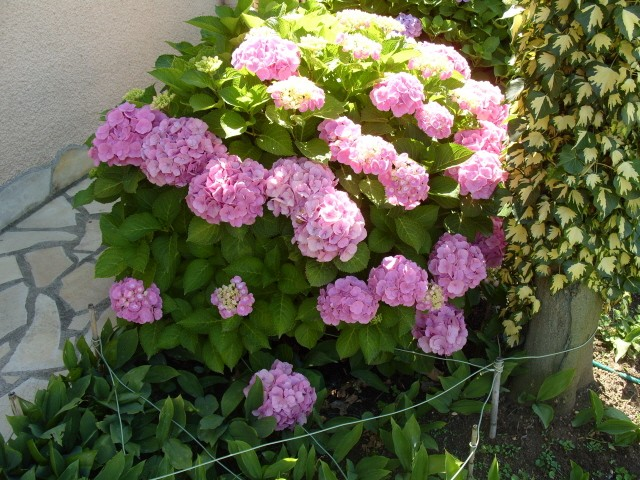 Hortensia des jardins S1050875