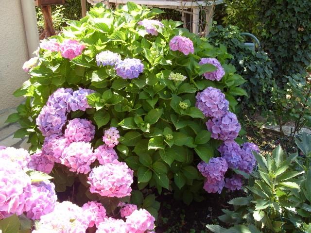 Hortensia des jardins S1050876