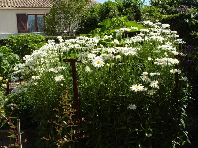 Leucanthemum vulgare 'Reine de Mai' - Marguerite S1050926