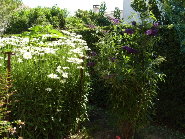 Leucanthemum vulgare 'Reine de Mai' - Marguerite S1050927
