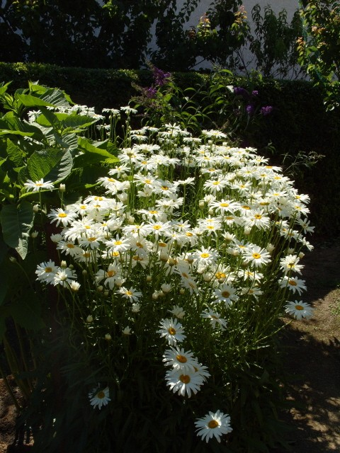 Leucanthemum vulgare 'Reine de Mai' - Marguerite S1050928