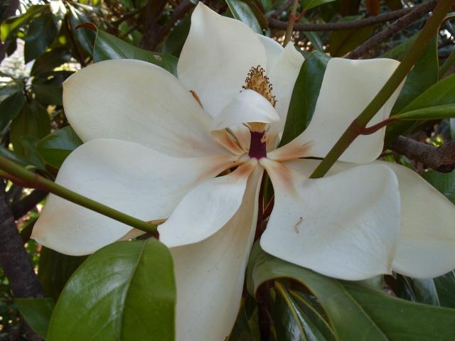 magnolia S1050943