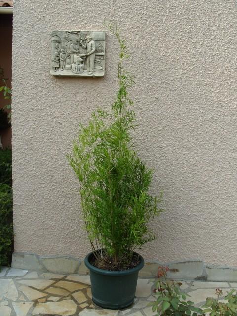 Asparagus S1051317