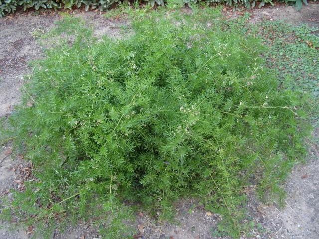 Asparagus S1051319
