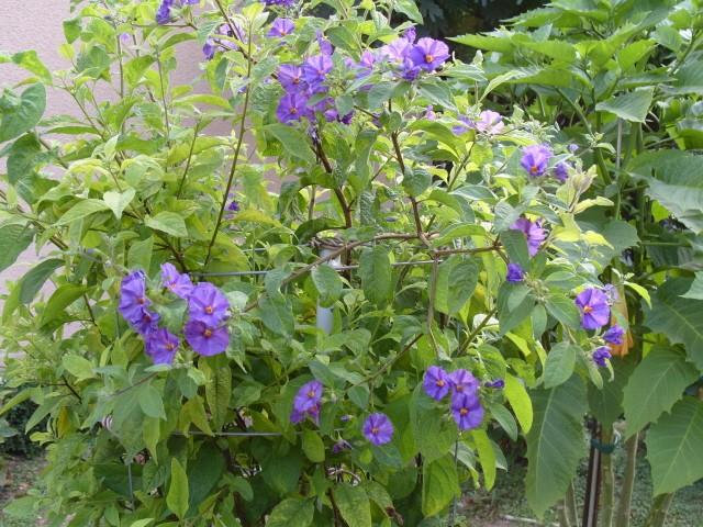 Solanum bleu S1051322
