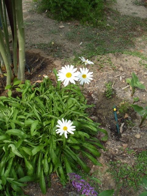 Leucanthemum vulgare 'Reine de Mai' - Marguerite S1051411