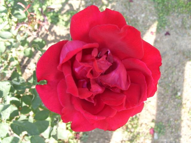 Petit album de roses - Page 2 S1051413