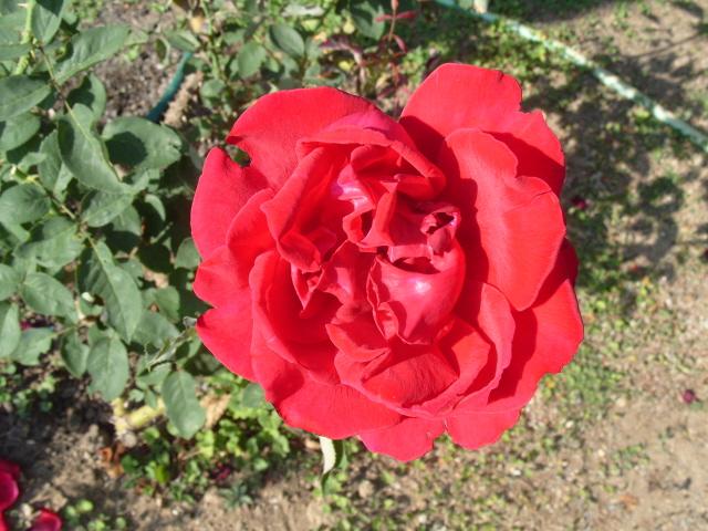 Petit album de roses - Page 2 S1051414