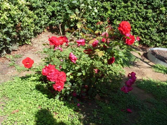 Petit album de roses - Page 2 S1051417