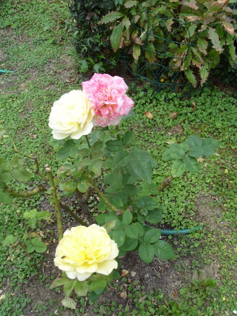 Petit album de roses - Page 2 S1051517