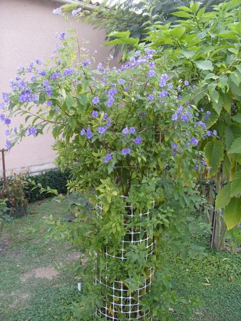 Solanum bleu S1051712