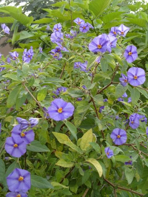 Solanum bleu S1051713