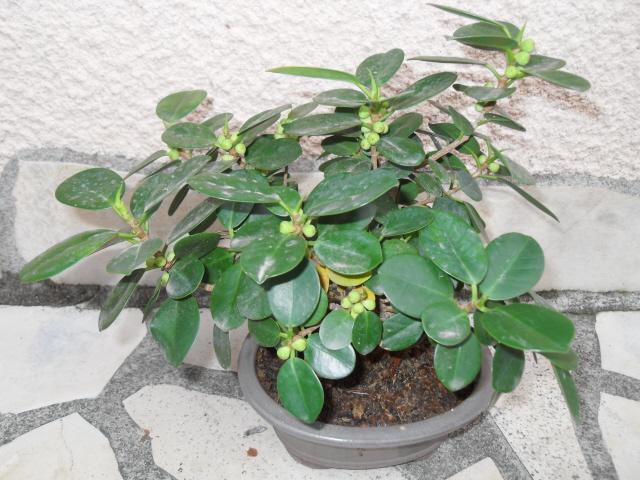 si nous parlions d'une plante d'intérieur: le ficus! Sdc10125