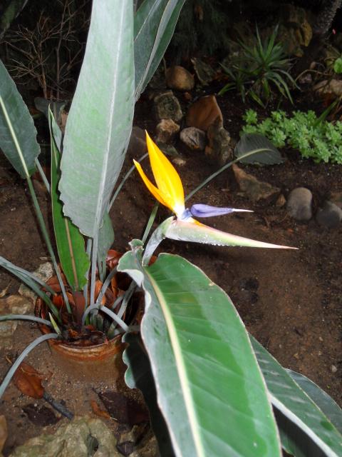Oiseau du paradis Strelitzia reginae Sdc10133