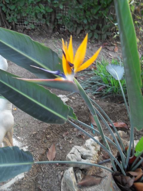 Oiseau du paradis Strelitzia reginae Sdc10213