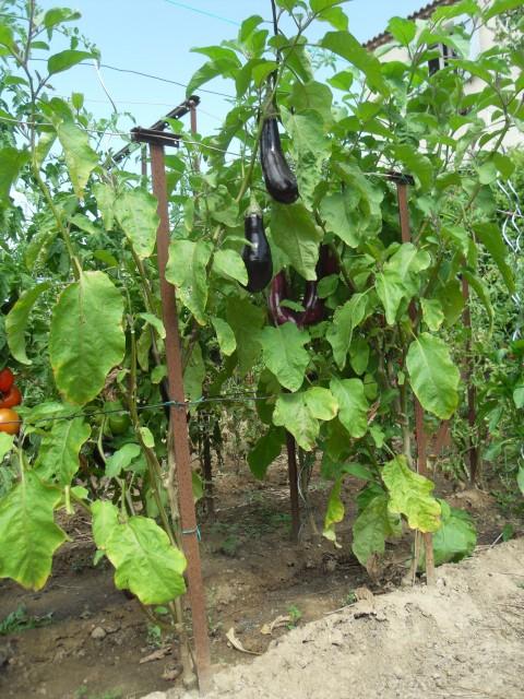 nouvelles plantations de légumes - Page 4 Sdc11311