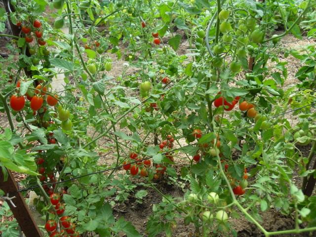 nouvelles plantations de légumes - Page 4 Sdc11313