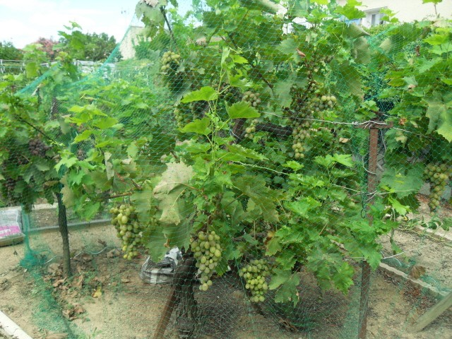 nouvelles plantations de légumes - Page 4 Sdc11316