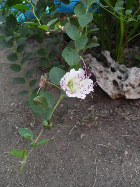 Le câprier épineux ou commun Sdc11331