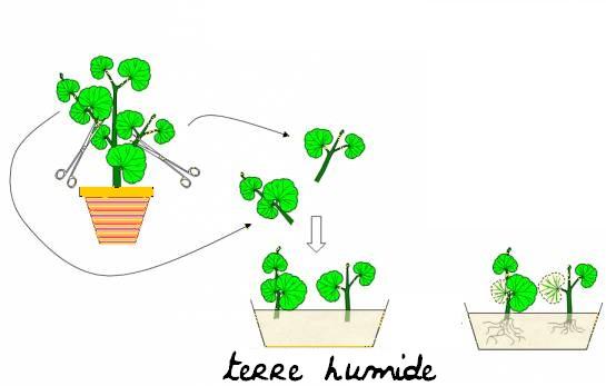 Quest ce que le bouturage et comment bouturer une plante  Boutur10