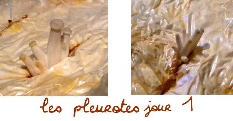 Champignons > pleurotes évolution  Jour_111