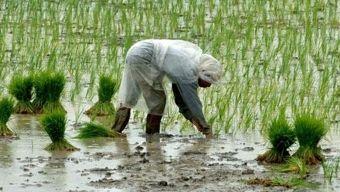 Augmentation brutale des prix des denrées alimentaires dans le monde ! Riz10