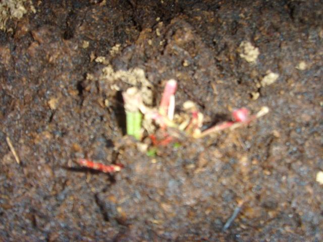 Sarracenia oreophila Ssl26015