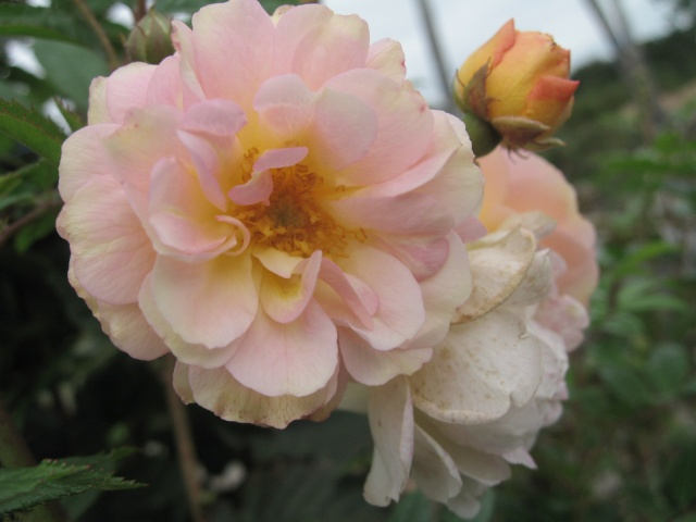 les roses du jardin 0110