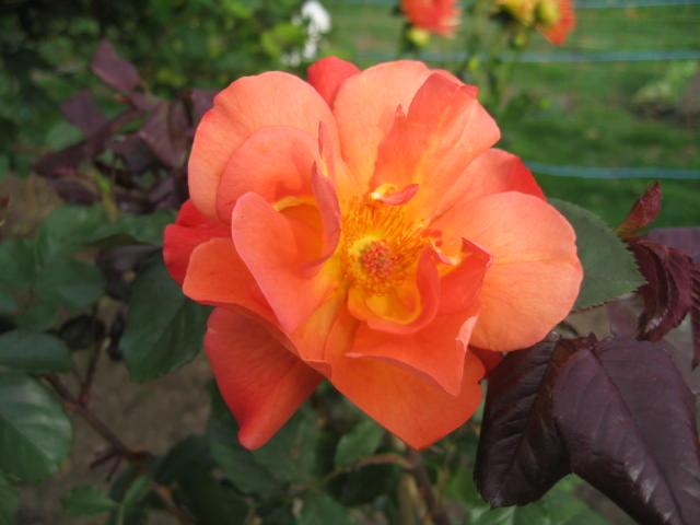 les roses du jardin - Page 2 01_1010