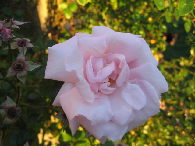 les roses du jardin 01_1310