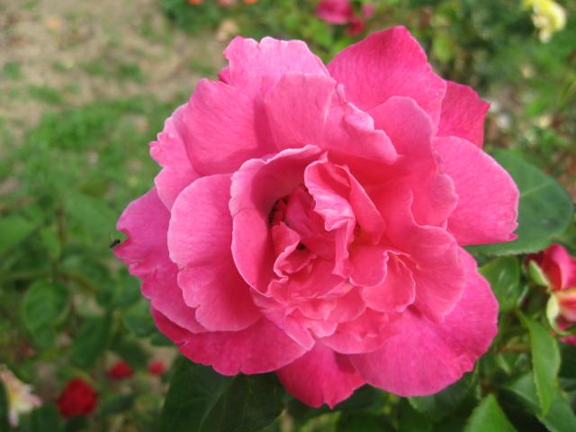 les roses du jardin - Page 2 01_1710