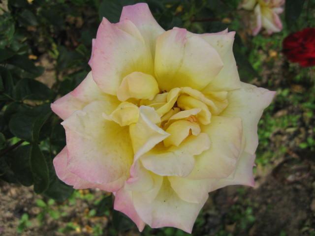 les roses du jardin - Page 2 01_1810