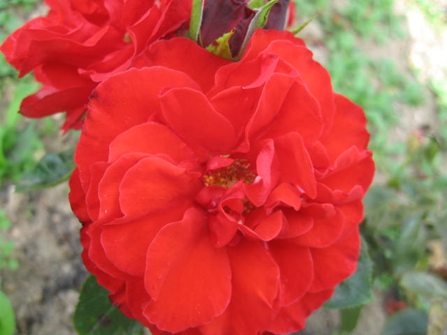 les roses du jardin - Page 2 01_2110