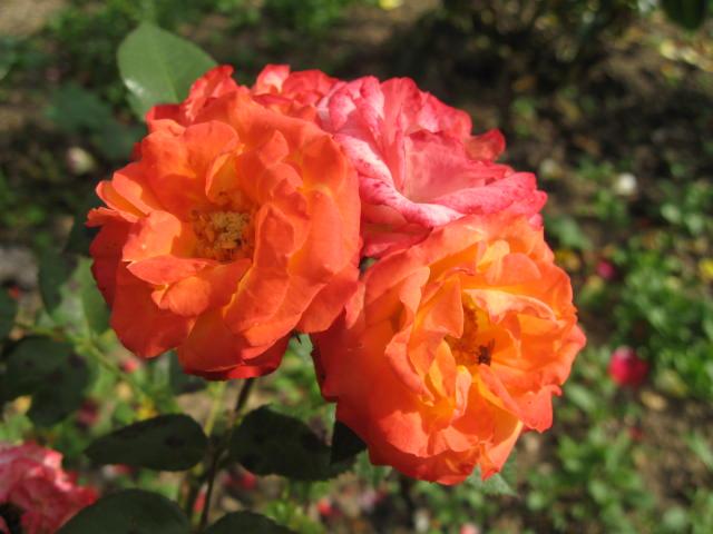 les roses du jardin - Page 2 01_2210