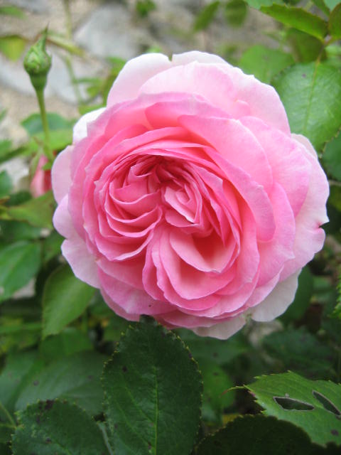 les roses du jardin - Page 2 01_610