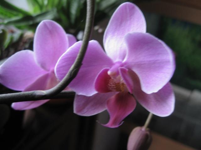 mes orchidées - Page 2 1_3110