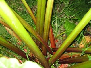 ma rhubarbe Img_0144