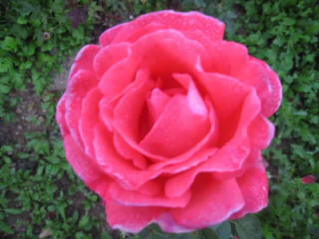 les roses du jardin - Page 2 Img_0333