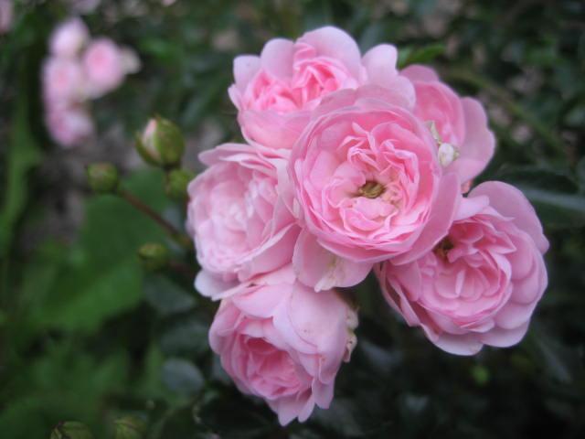 les roses du jardin Img_0372